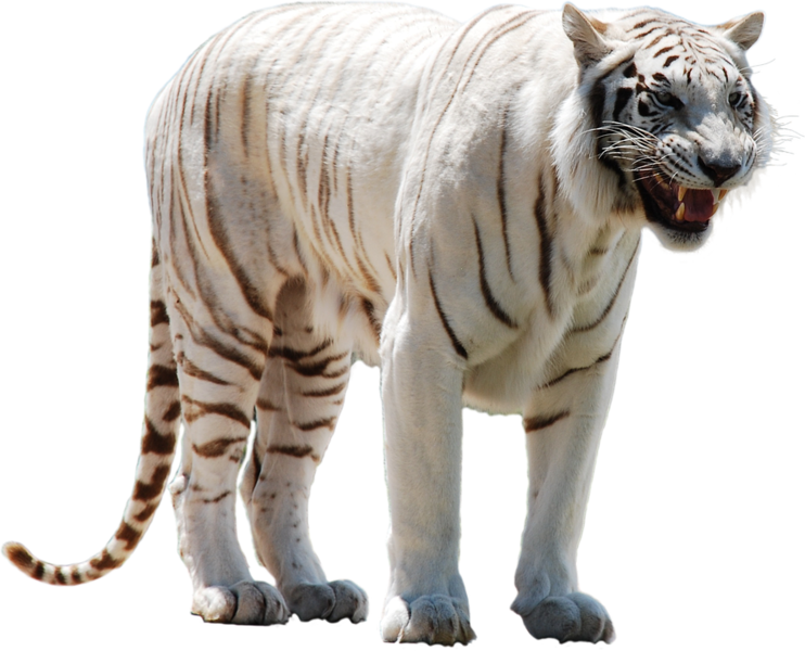 White Tiger (PNG) | Official PSDs