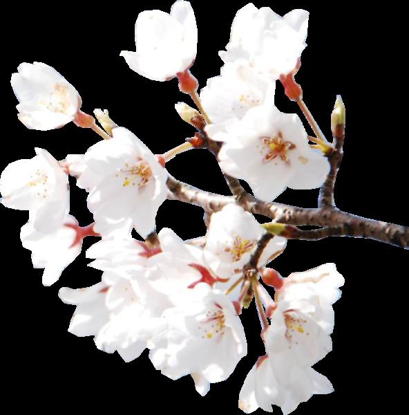 Cherry Blossoms (PSD) | Official PSDs